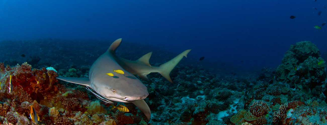 Fiji shark